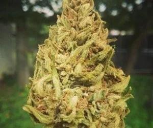 Migliore cannabis light da acquistare