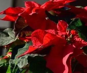 Foglie della Stella di Natale