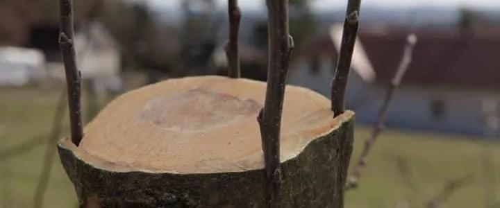 Gli innesti degli alberi da frutto, le diverse tecniche