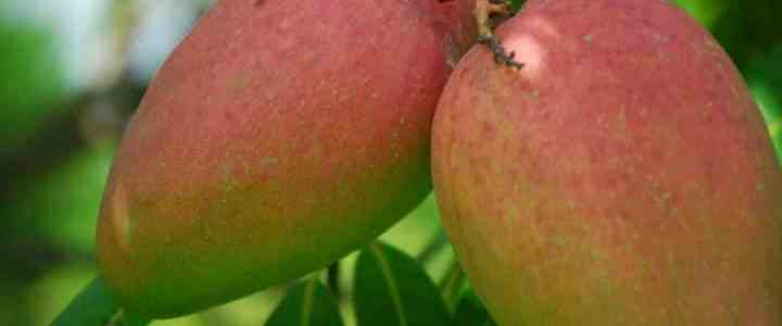 Il mango, coltivazione e caratteristiche dell'albero