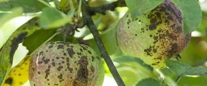 Ticchilatura del melo