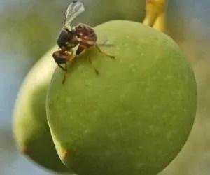 Danni della mosca olearia sulle olive