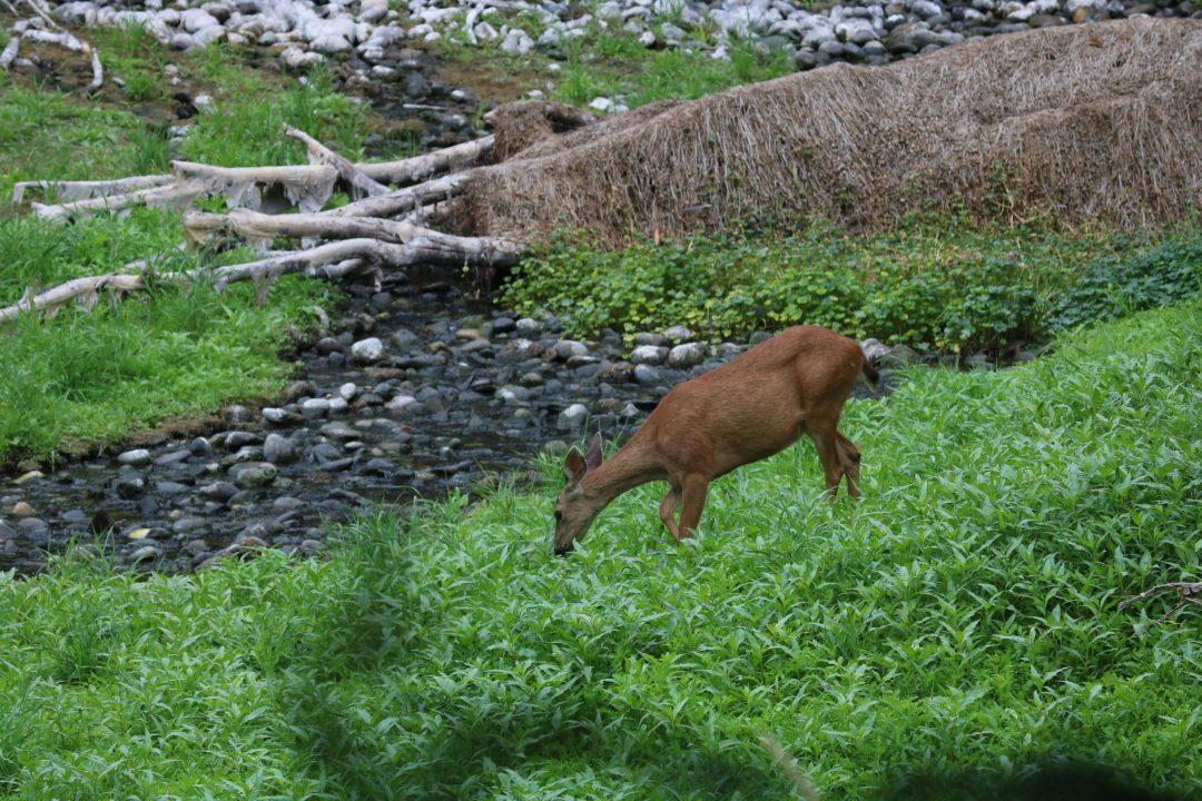 deer in west biddle lake meadow