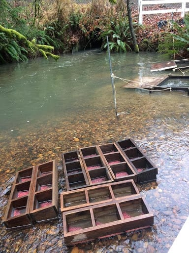 Remote site incubation trays in the stream