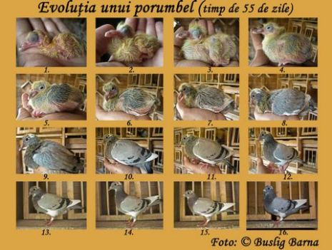 evolutie-porumbel-buslig-barna