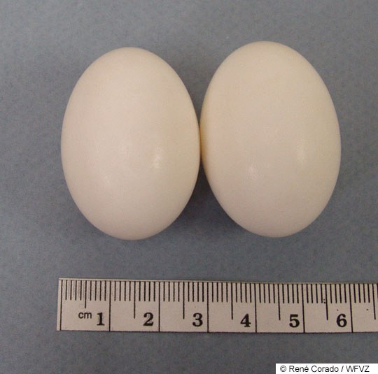rock_pigeon_eggs