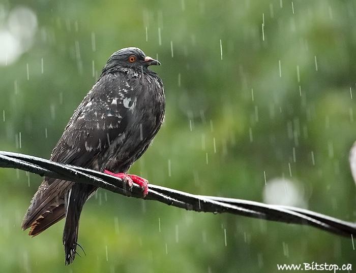 pigeon-aug13 (2)