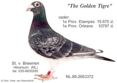 1.12-1873_goldentigre