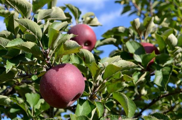 apples in Columbus