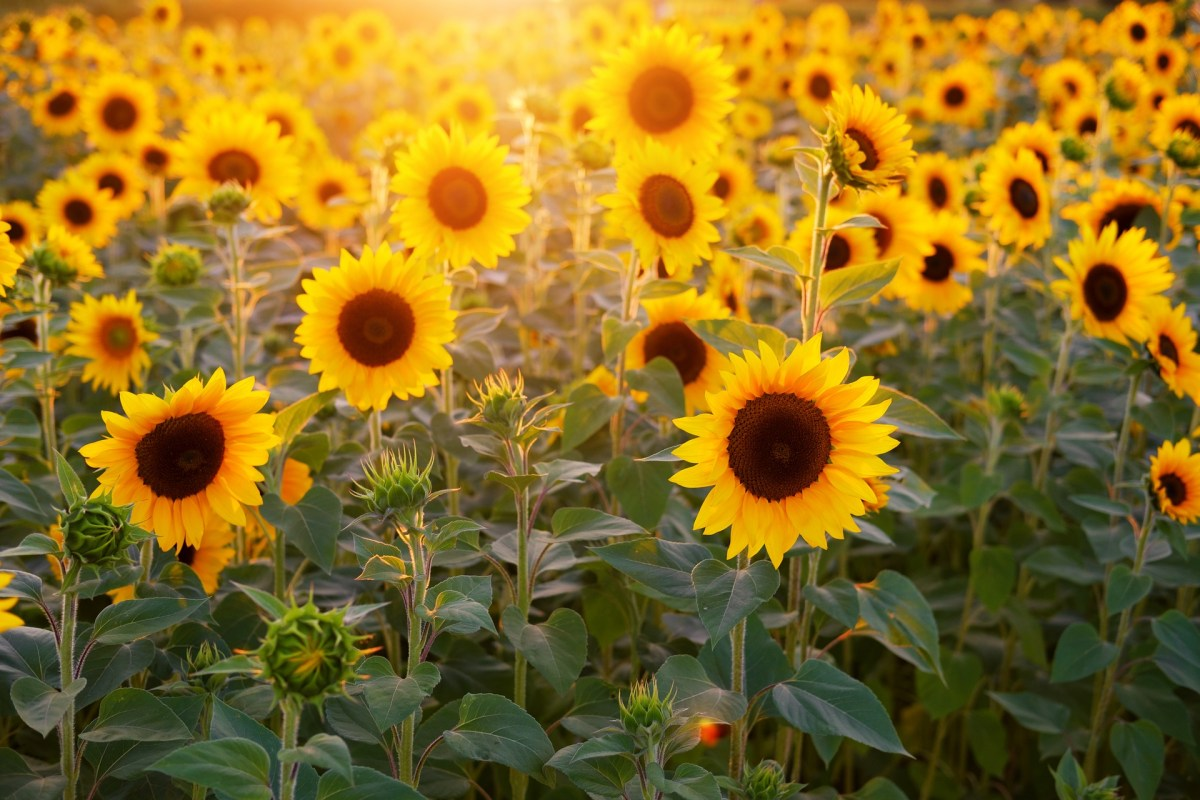 Visit These Magical Sunflower Fields In Central Ohio In 2020