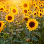 Now in bloom! Sunflower Fields in Central Ohio for 2020