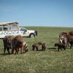 Safari in Ohio: Take a Wilds Tour, including Safaris, Horseback, Zipline, Sunset, and more!