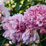 Shop Red Twig Farms Peony Plant Sale in April