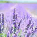 Visits these fields and farms with Lavender in Ohio