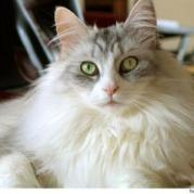 Maine_Coon_2087