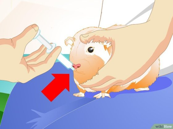 Immagine titolata Look After Your Sick Guinea Pig Step 4