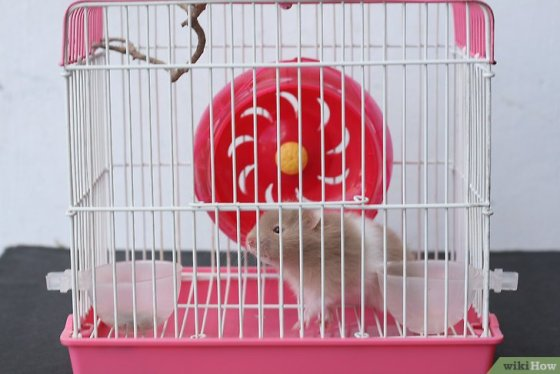 Immagine titolata Train Your Hamster Step 1