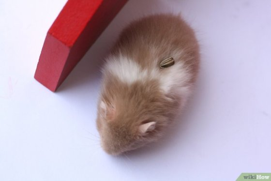 Immagine titolata Train Your Hamster Step 6