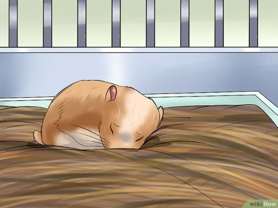 Immagine titolata Deal With Your Hamster Dying Step 5