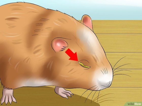 Immagine titolata Help a Hamster With Sticky Eye Step 1