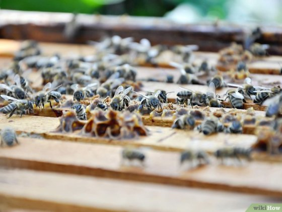 Immagine titolata Become a Beekeeper Step 4