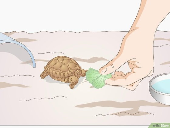 Immagine titolata Take Care of a Baby Tortoise Step 8