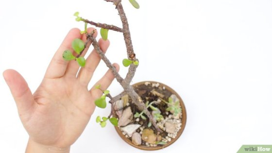 Immagine titolata Grow Potted Plants Step 3