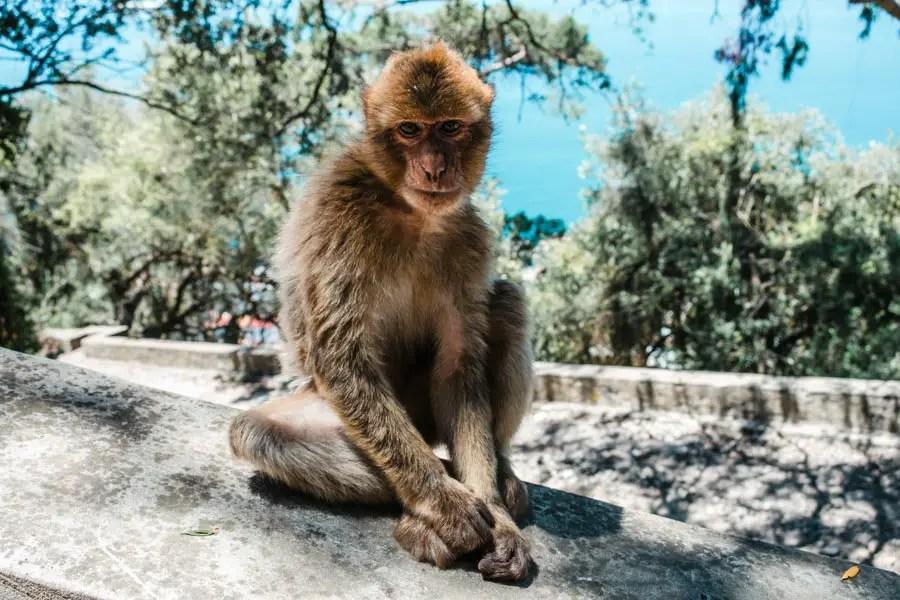 Barbary Macaques (Monkeys)
