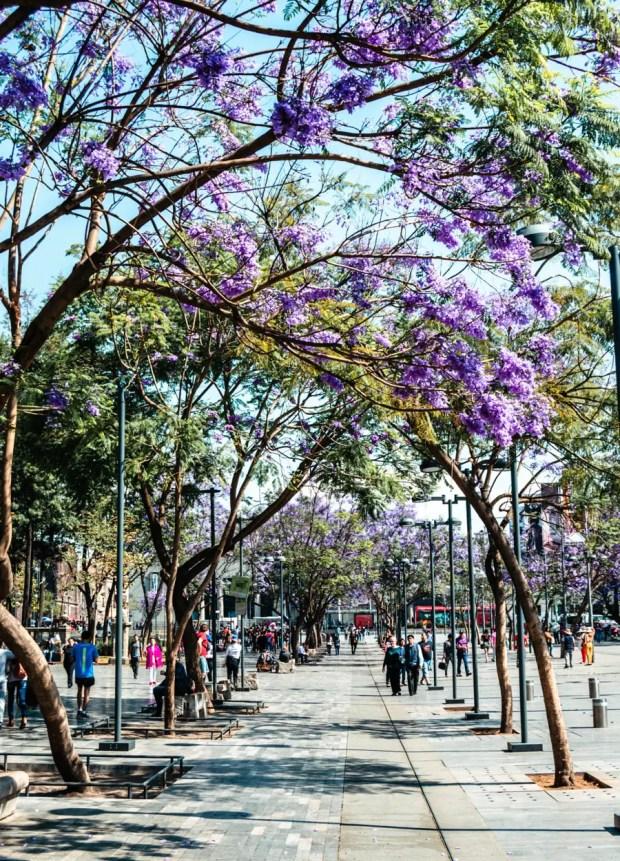 Jacaranda Trees Mexico City