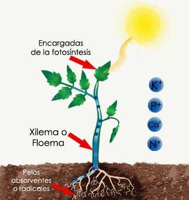 esquema_fotosintesis_con_iones