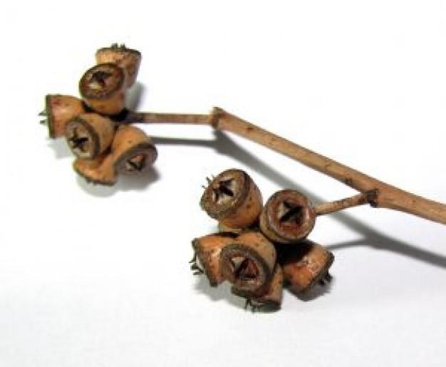 rama-de-eucalipto_2885014