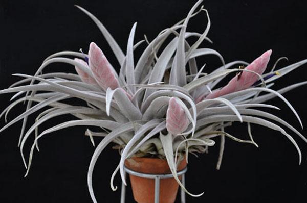 Tillandsia chiapensis