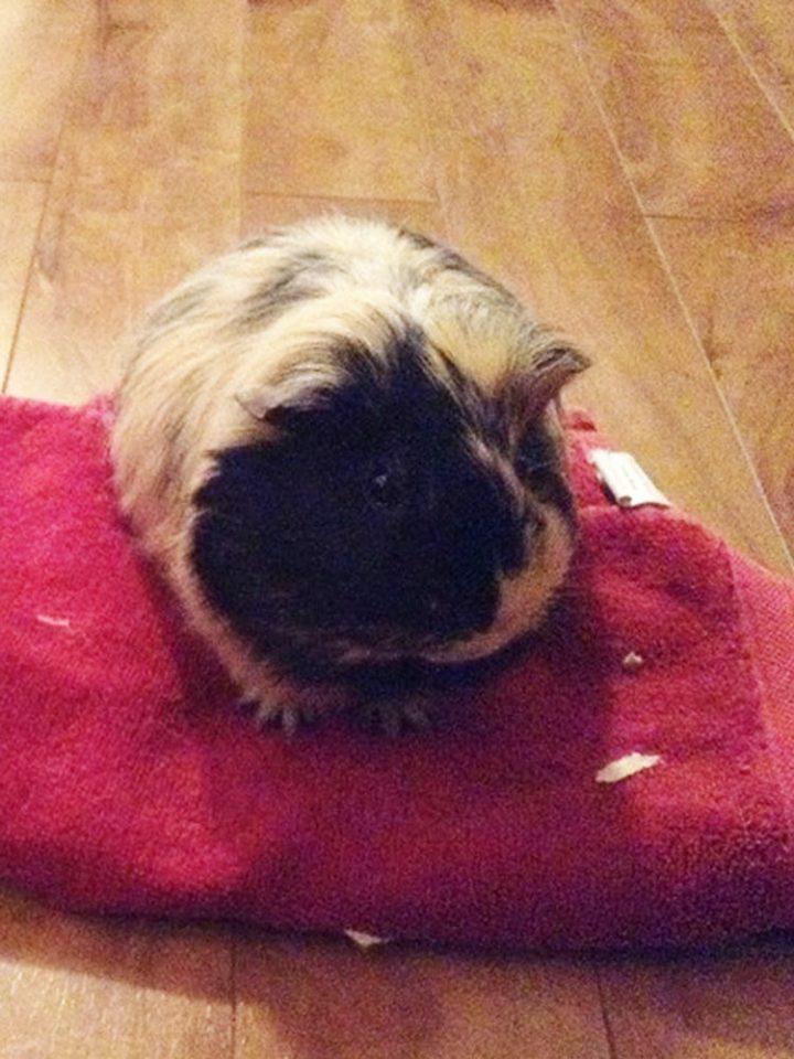 guinea pig loss