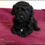 Toy Poodle Pups