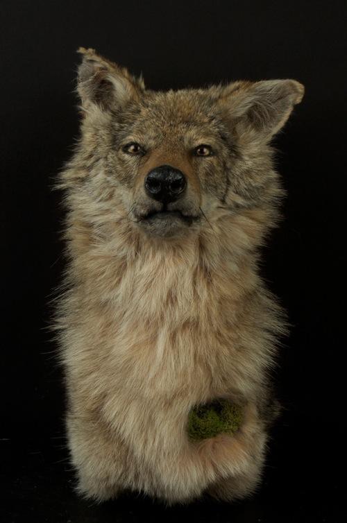 Innamorato_LG_Coyote.jpg