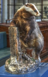 A Stuffed Badger in Dublin's Natural History Museum