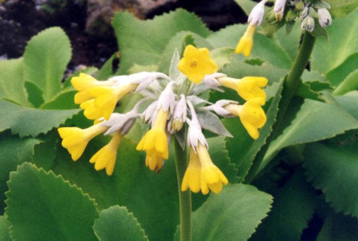 Il fiore Primula Palinuri. credits: Ghislain118