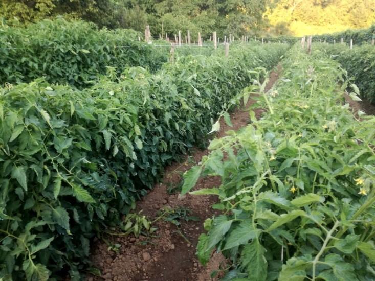 campo-pomodoro