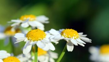 Is chamomile tea a good anti inflammatory?