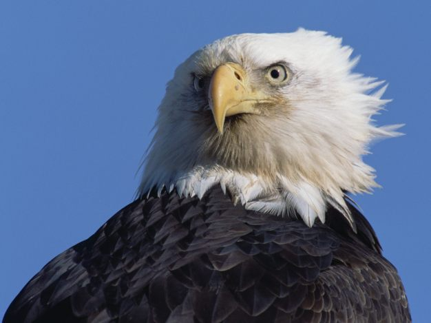 Mighty American Eagle
