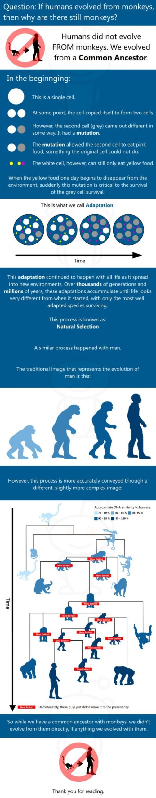 A Common Ancestor - If humans evolved from monkeys, why are there still monkeys?