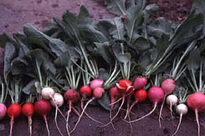 Radish photo from Purdue University