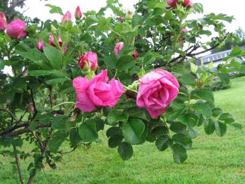 Apart, a rugosa, is one of my favorites. There are 70 others.