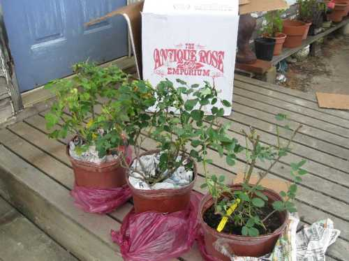 The Antique Rose Emporium roses have been dependable