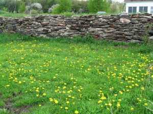 My dandelion lawn in spring