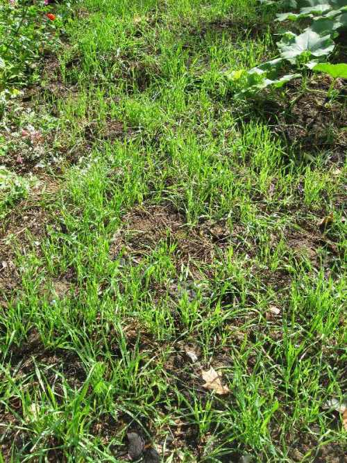 Winter rye cover crop