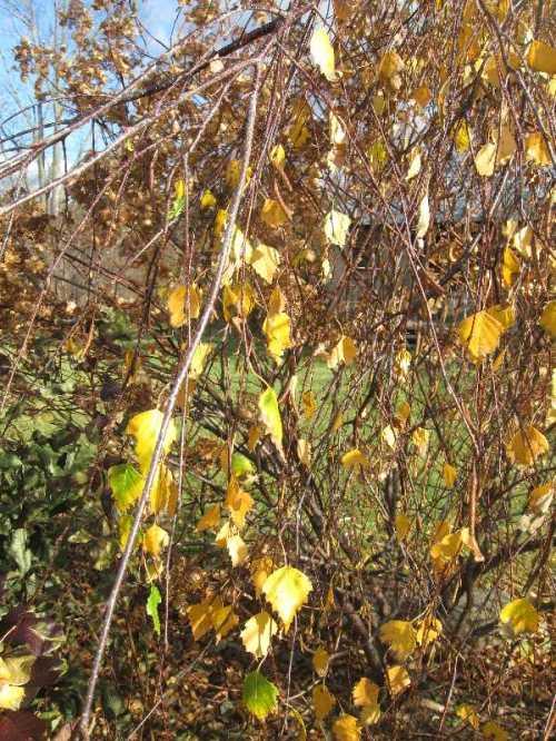 My weeping birch  11-2