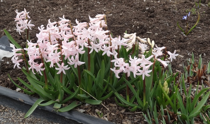 Pink hyacinths on Bridge of Flowers