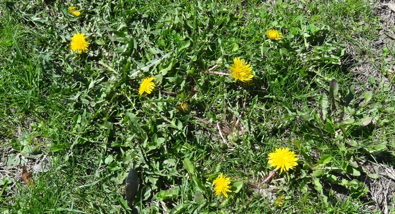 Dandelions at UMass
