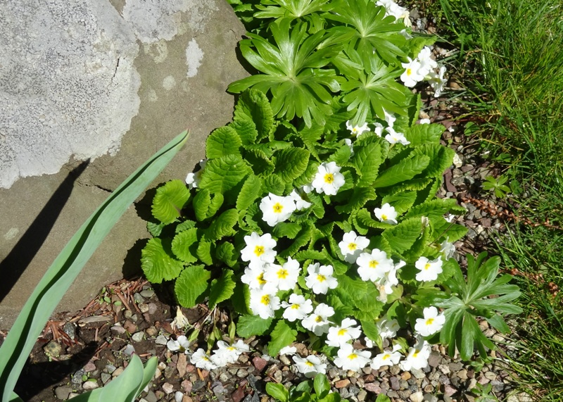 Primroses at Leonard J. Buck Garden, New Jersey